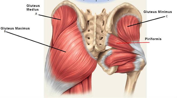hoftemuskulatur og setemuskler - oversikt